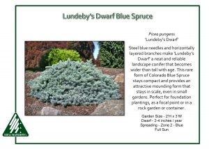 Picea pungens 'Lundeby's Dwarf'