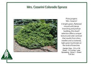 Picea pungens 'Mrs. Cesarini'