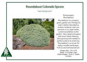 Picea pungens 'Roundabout'