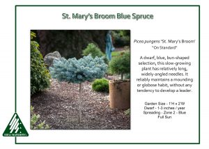 Picea pungens 'St. Mary's Broom' - On Standard