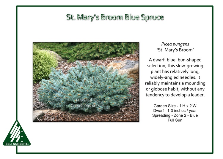Picea pungens 'St. Mary's Broom'
