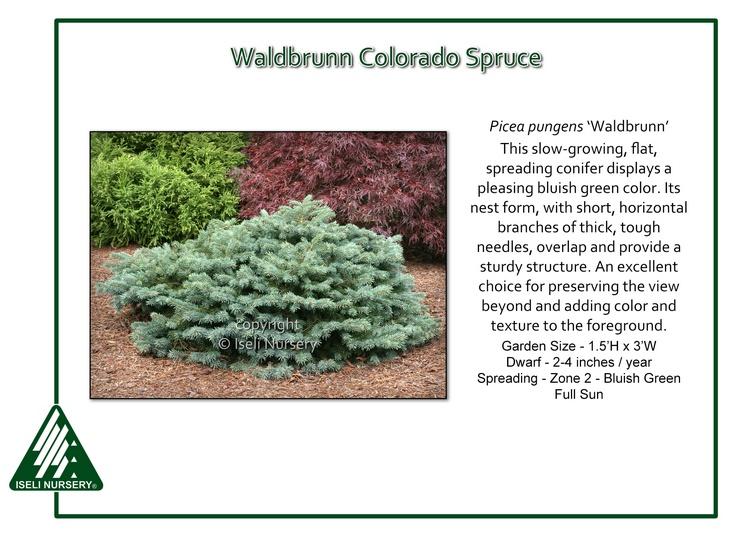 Picea pungens 'Waldbrunn'