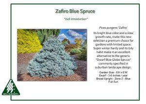 Picea pungens 'Zafiro'