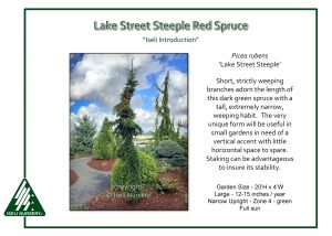 Picea rubens 'Lake Street Steeple'
