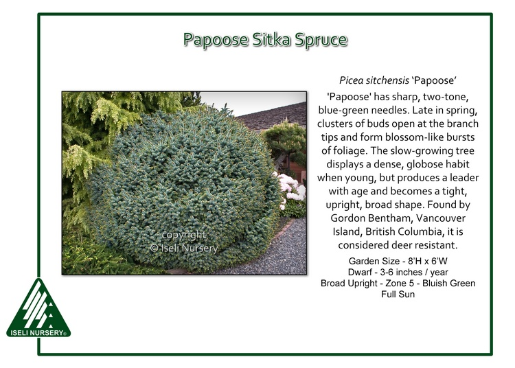 Picea sitchensis 'Papoose'