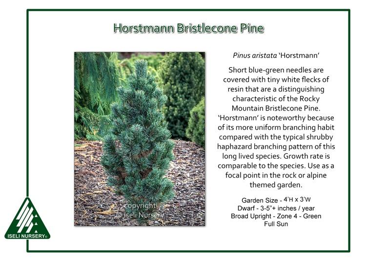 Pinus aristata 'Horstmann'