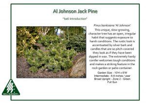 Pinus banksiana 'Al Johnson'