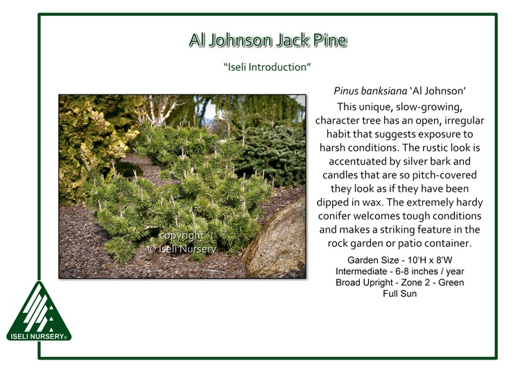 Pinus banksiana 'Al Johnson'