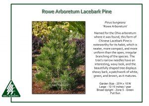 Pinus bungeana 'Rowe Arboretum'
