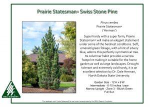 Pinus cembra 'Prairie Statesman'