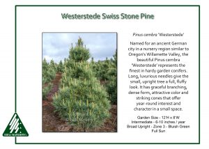 Pinus cembra 'Westerstede'