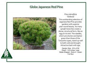 Pinus densiflora 'Globosa'