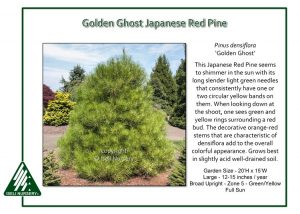 Pinus densiflora 'Golden Ghost'