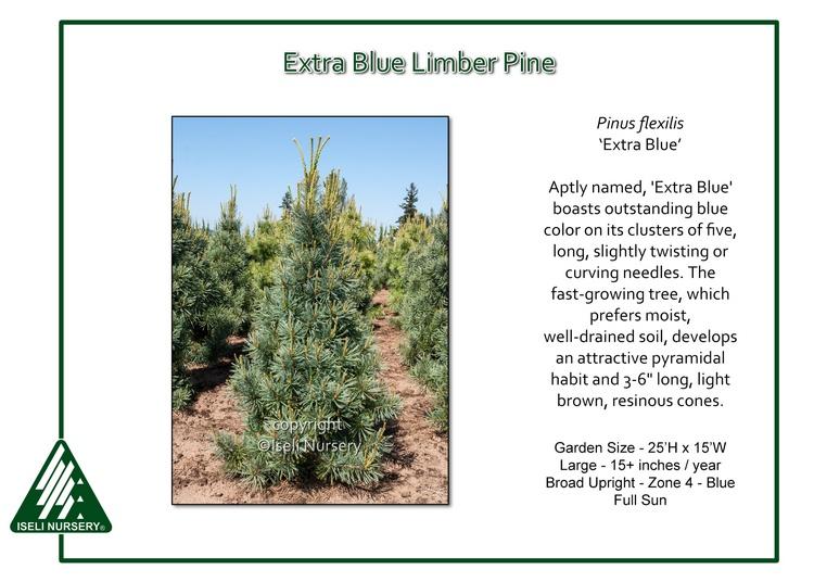 Pinus flexilis 'Extra Blue'