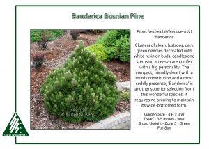 Pinus heldrichii 'Banderica'