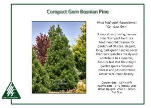 Pinus heldrichii 'Compact Gem'