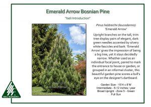 Pinus heldrichii 'Emerald Arrow'