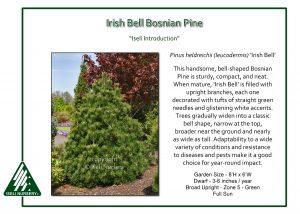 Pinus heldrichii 'Irish Bell'