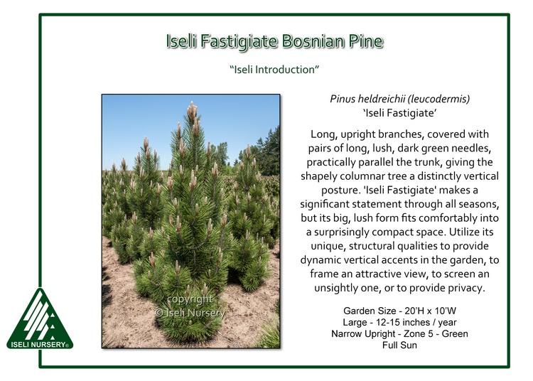 Pinus heldrichii 'Iseli Fastigiate'