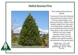 Pinus heldrichii 'Malink'