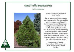 Pinus heldrichii 'Mint Truffle'