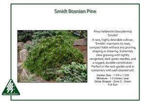 Pinus heldrichii 'Smidtii'