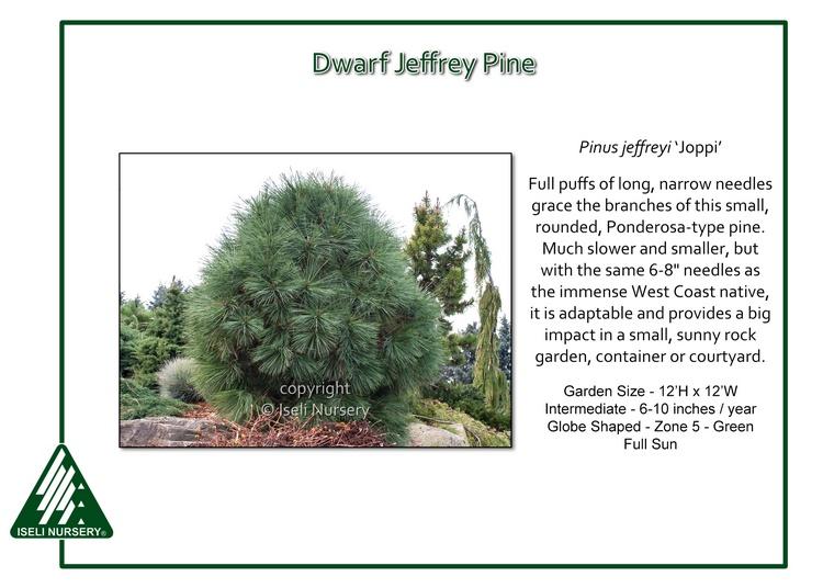 Pinus jeffrey 'Joppi'