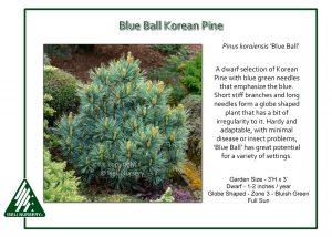 Pinus koraiensis 'Blue Ball'