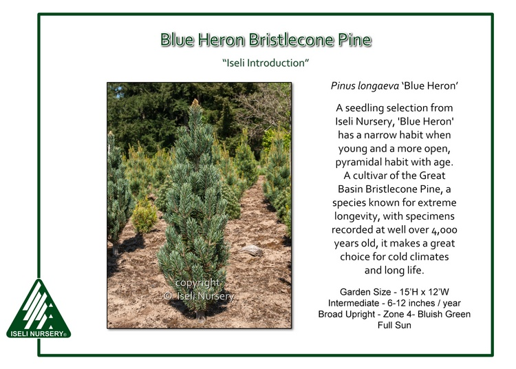 Pinus longaeva 'Blue Heron'