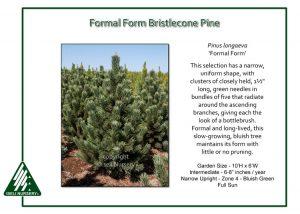 Pinus longaeva 'Formal Form'