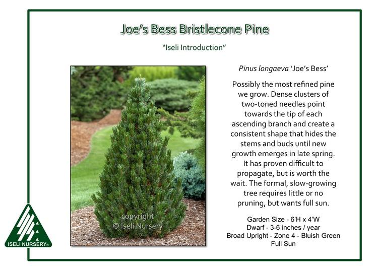 Pinus longaeva 'Joe's Bess'