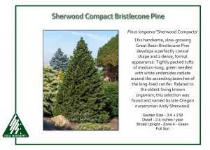 Pinus longaeva 'Sherwood Compacta'