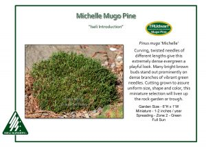 Pinus mugo 'Michelle'