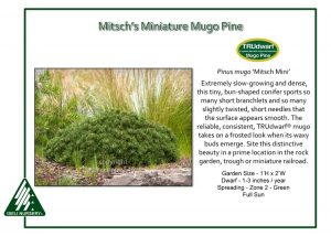 Pinus mugo 'Mitsch Mini'