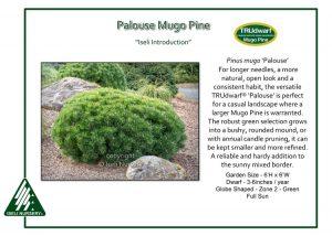 Pinus mugo 'Palouse'