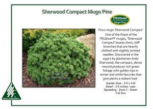 Pinus mugo 'Sherwood Compact'