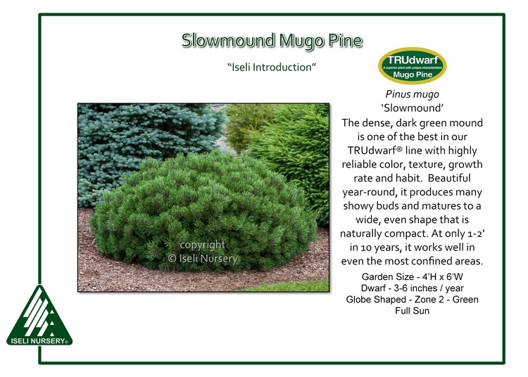 Pinus mugo 'Slowmound'