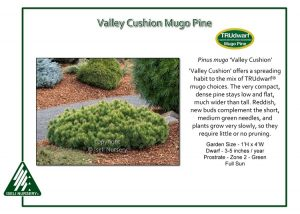 Pinus mugo 'Valley Cushion'