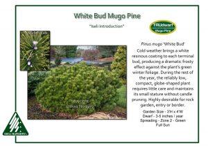 Pinus mugo 'White Bud'