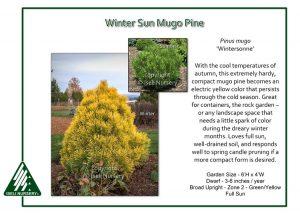 Pinus mugo 'Wintersonne'