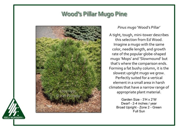 Pinus mugo 'Woods Pillar'