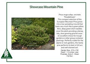 Pinus mugo uncinata 'Paradekissen'