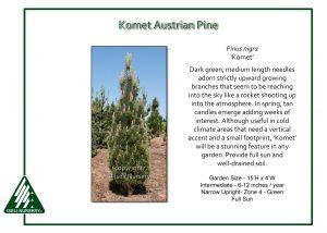 Pinus nigra 'Komet'