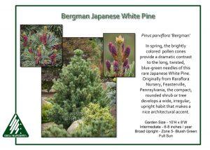 Pinus parviflora 'Bergman'