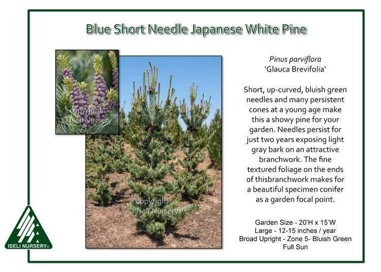 Pinus parviflora 'Glauca Brevifolia'