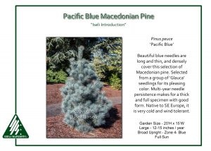 Pinus peuce 'Pacific Blue'