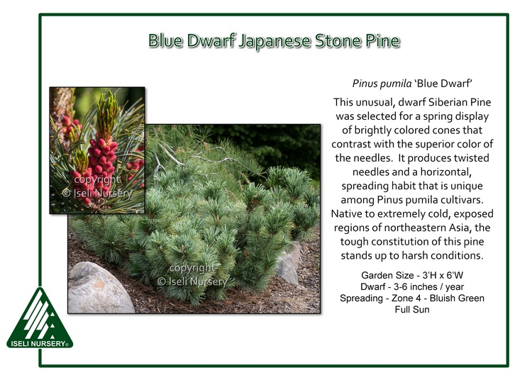 Pinus pumila 'Blue Dwarf'