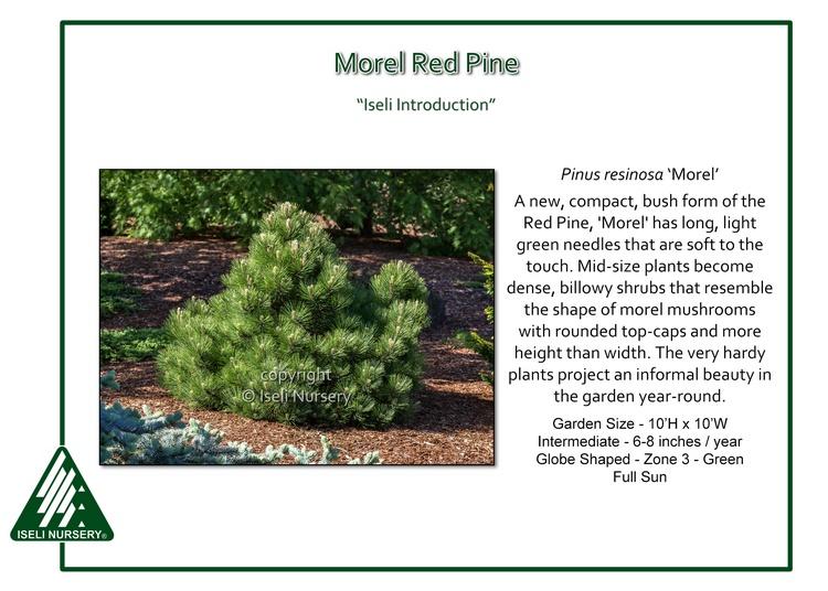 Pinus resinosa 'Morel'