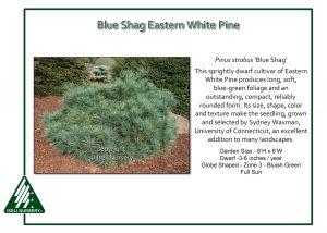 Pinus strobus 'Blue Shag'