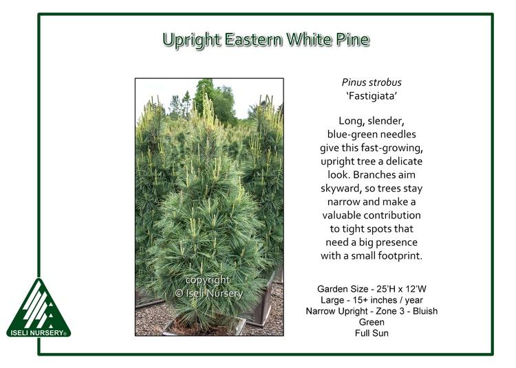 Pinus strobus 'Fastigiata'